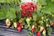 Ali Baba Farm and Strawberry Centre